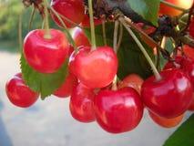 Деталь плодоовощ вишни на дереве в июне стоковое изображение rf
