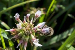 Деталь пчелы в латинских Apis Mellifera, стоковое фото