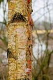 Деталь серебряного ствола дерева bich - Береза повислая Стоковое Изображение RF