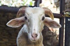 Деталь снятая белых овец в укрытии Стоковые Фотографии RF