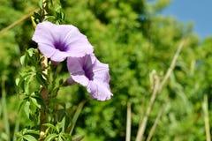 Деталь фиолетовых одичалых цветков вьюнка Стоковые Изображения