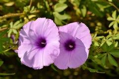 Деталь фиолетовых одичалых цветков вьюнка Стоковое Изображение RF
