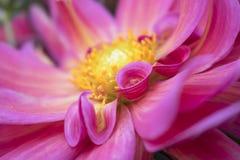 Деталь форм в ярких розовых лепестках цветка Стоковое Фото