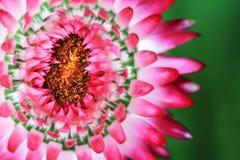 деталь цветка immortelle Стоковое Изображение RF