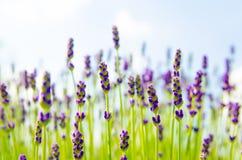 Деталь цветков лаванды Справочная информация Стоковое Изображение RF