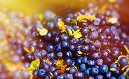 Деталь ягод myrtillus Vaccinium голубики зрелых голубик и светового эффекта стоковые изображения rf