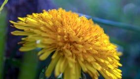 Деталь florets луча цветка одуванчика стоковое изображение rf