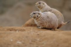 Деталь groundhog пар на песке в саде зоопарка Стоковое фото RF