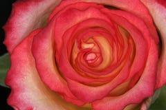 деталь rosa подняла Стоковая Фотография