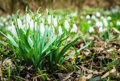 Деталь snowdrops в весеннем времени Стоковые Фото