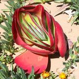 Детализирует красную пустыню succulents Kalanchoe стоковые фото
