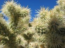 Детали кактуса Cholla Стоковые Изображения
