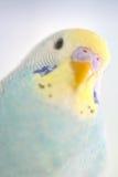 Детали попугая волнистого попугайчика Стоковая Фотография
