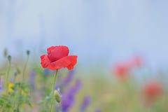 Детали цветков мака Стоковая Фотография RF