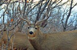 Детали Antlers оленей самца оленя внутри Scrub дуб стоковые изображения rf