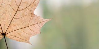 Детальная, желтая текстура кленового листа Стоковые Фото