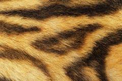 Детальное мех тигра Стоковое Фото