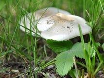 Детальный взгляд белого гриба в траве Стоковое Изображение