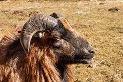 Детальный взгляд головы штосселя Разводить домашних животных аграрная ферма Стоковые Фото