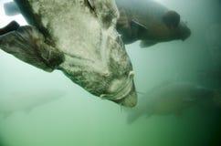Детальный взгляд рыб Huso Huso стерляжины в воде стоковая фотография