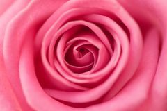 Детальный крупный план красивой розы пинка Стоковая Фотография RF