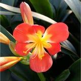 Детальный цветок Clivia Стоковые Фото