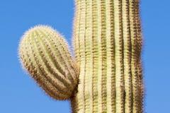 Деталь бортовой руки gigantea Carnegiea кактуса Saguaro Стоковые Изображения