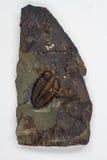Деталь большого Trilobite изолированного Брайном Стоковые Фото