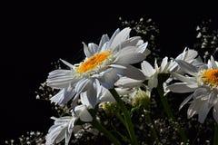 Деталь букета от белых цветков Leucanthemum Vulgare маргариток вол-глаза и малых вспомогательных цветков на черной предпосылке Стоковое Изображение