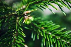 Деталь ветви ели Стоковая Фотография