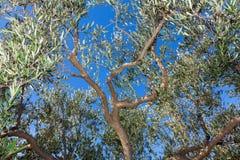 Деталь ветви оливкового дерева Стоковая Фотография