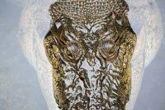 Деталь головы крокодила Стоковое Фото