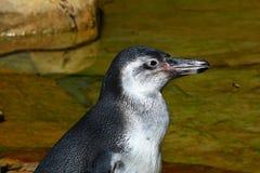Деталь головы humboldti spheniscus пингвина Гумбольдта с социальным летанием Germanica Vespula оси к нему Стоковые Фотографии RF