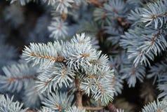 Деталь голубых игл на ветви спруса стоковые изображения rf