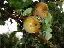 Деталь груши на ветви дерева Стоковое Фото