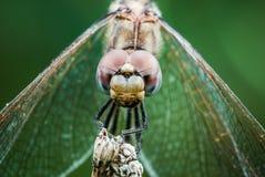Деталь глаза dragonfly на переднем плане Стоковое Изображение RF