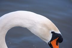 Деталь лебедя стоковое изображение rf
