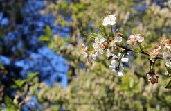 Деталь дерева весны с белым цветенем Стоковое Изображение RF