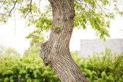 Деталь дерева клена Стоковое фото RF