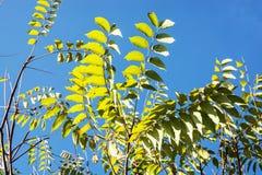 Деталь дерева с голубым небом в осени Стоковое Фото