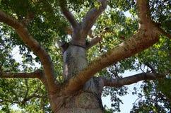 Деталь дерева ceiba в долине Vinales, Кубе Стоковая Фотография