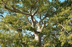 Деталь дерева ceiba в долине Vinales, Кубе Стоковое Изображение