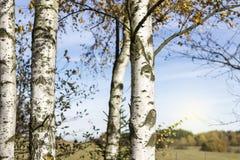 Деталь деревьев березы стоковые изображения rf