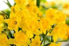 Деталь желтого цветка весны narcissus Стоковые Фотографии RF