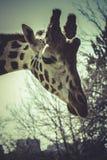 Деталь жирафа головная, сцена зоопарка Стоковые Изображения