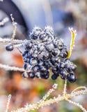 Деталь замороженной голубой ягоды Стоковые Изображения RF