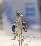 Деталь замороженной голубой ягоды Стоковое Изображение