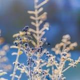 Деталь замороженной голубой ягоды Стоковое фото RF