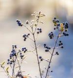 Деталь замороженной голубой ягоды Стоковая Фотография RF