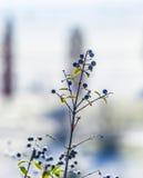 Деталь замороженной голубой ягоды Стоковые Фотографии RF